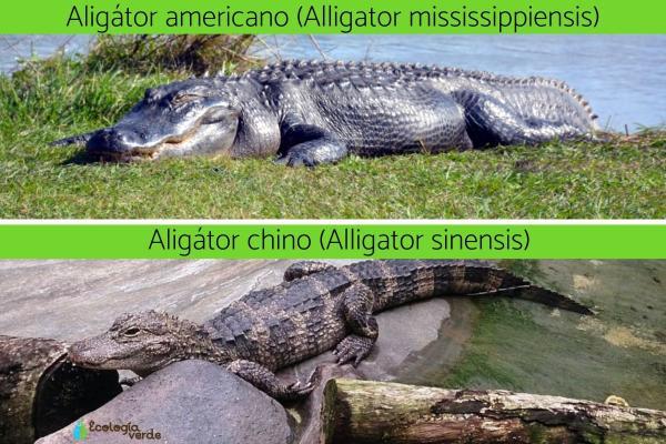 Diferencia entre cocodrilo y caimán - Los aligátores y los gaviales