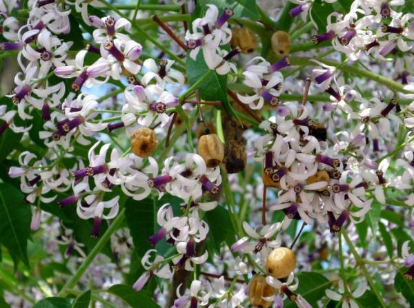 Árboles que producen más oxígeno - Melia o cinamomo