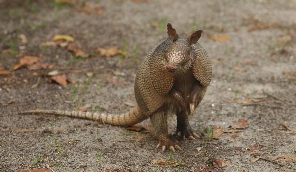 10 animales en peligro de extinción en Venezuela - Armadillo gigante (Priodontes maximus)