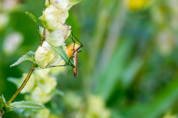 Para qué sirven los mosquitos - Función polinizadora de los mosquitos