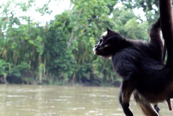 22 animales en peligro de extinción en Venezuela - Mono araña (Ateles belzebuth)
