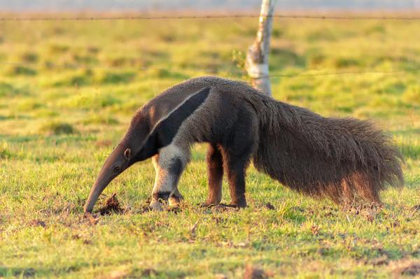 10 animales en peligro de extinción en Venezuela - Oso hormiguero gigante (Myrmecophaga tridactyla)