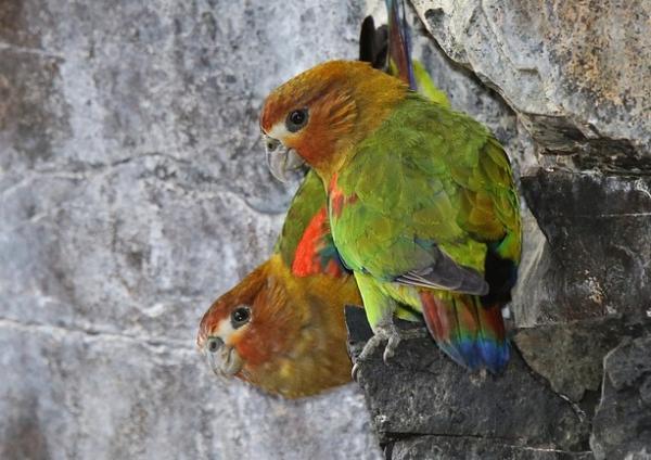 22 animales en peligro de extinción en Venezuela - Perico multicolor (Hapalopsittaca amazonina theresae)