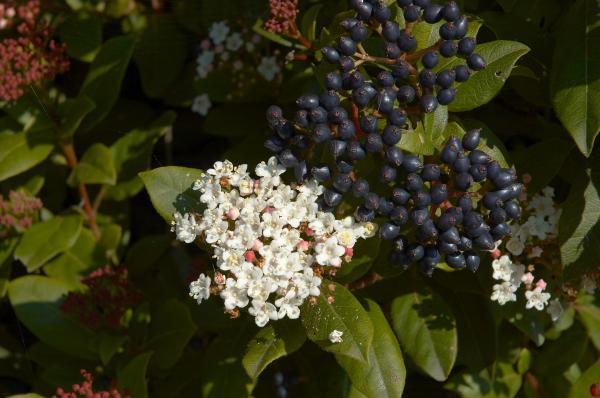 10 plantas de exterior resistentes al frío y a la sombra - Durillo