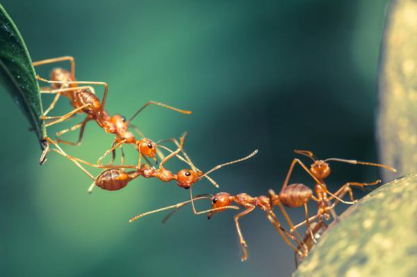 Cómo se comunican las hormigas