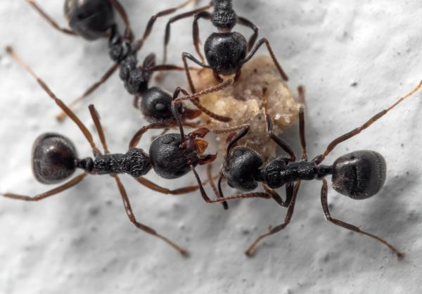 Cómo se comunican las hormigas - Cómo se comunican las hormigas cuando encuentran alimento