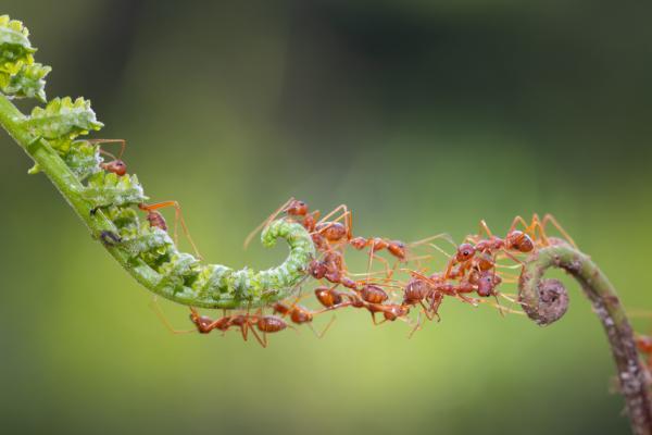 Cómo se comunican las hormigas - Cómo se comunican las hormigas entre ellas