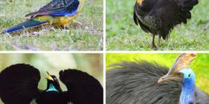 +20 aves australianas: nombres e imágenes