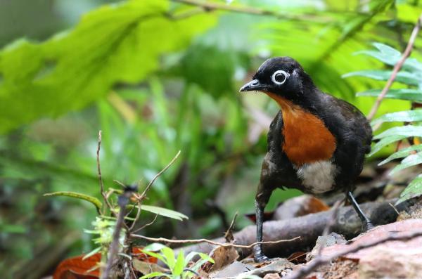 +20 aves australianas: nombres e imágenes - Colaespina de Spalding, una de las aves australianas cantoras