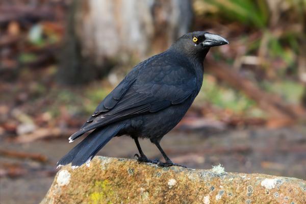 +20 aves australianas: nombres e imágenes - Currawong negro australiano