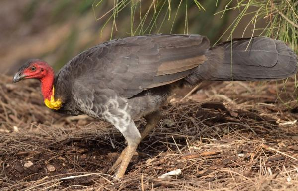 +20 aves australianas: nombres e imágenes - Pavo de matorral