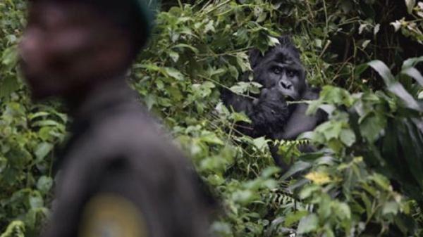 ¿Están los gorilas en peligro de extinción? - Por qué los gorilas están en peligro de extinción