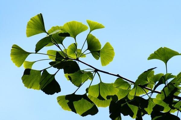 Ginkgo biloba: propiedades, para qué sirve y contraindicaciones - Cómo es el ginkgo biloba