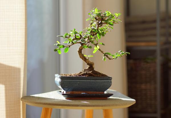 Dónde colocar un bonsái según el Feng Shui - Dónde ubicar un bonsái según el Feng Shui