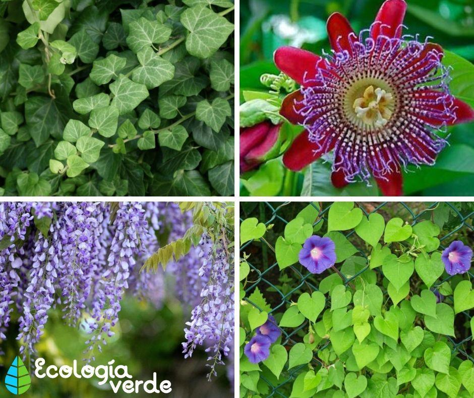 24 Plantas Trepadoras Nombres Características Y Fotos