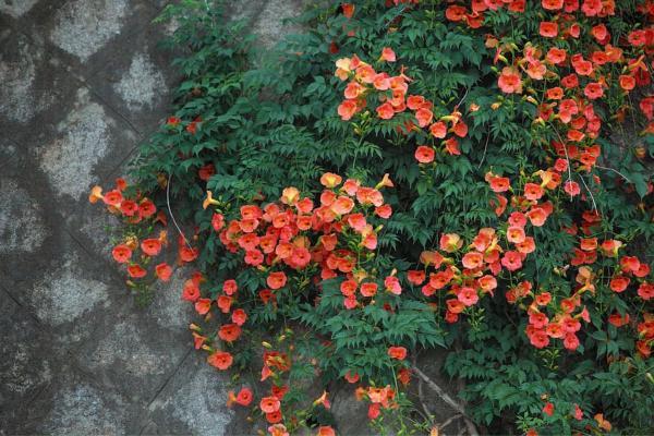 24 plantas trepadoras - Campsis radicans o enredadera de trompeta