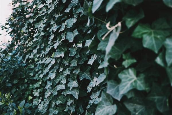 24 plantas trepadoras - Hedera canariensis o hiedra canaria