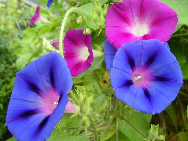 24 plantas trepadoras - Ipomea, una de las plantas trepadoras con flores más bellas