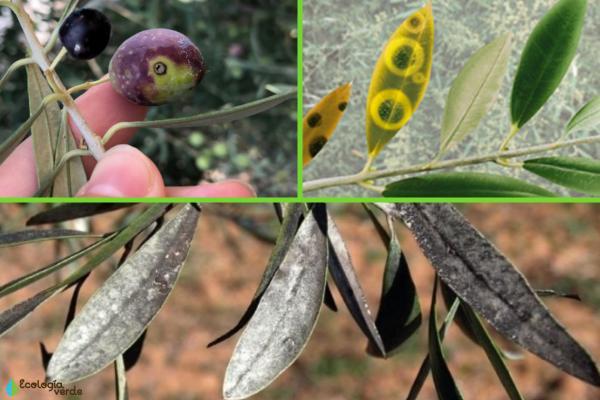 Olivo en maceta: cuidados y cómo podarlo - Plagas y enfermedades del olivo en maceta