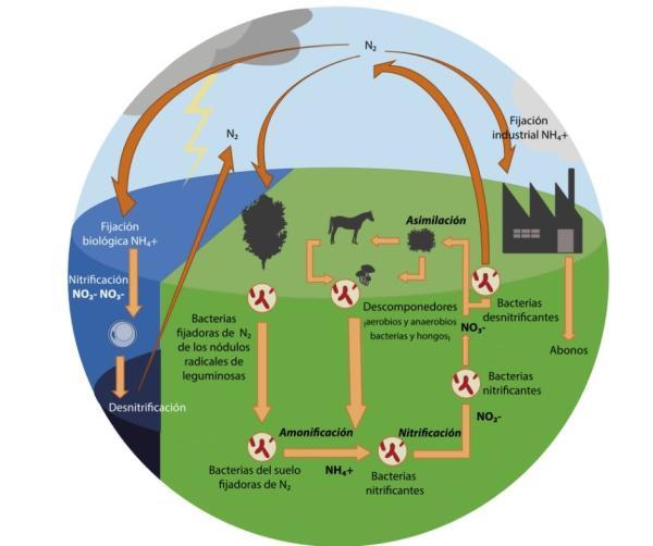 Función del nitrógeno en las plantas y su importancia - Función del nitrógeno en las plantas – resumen
