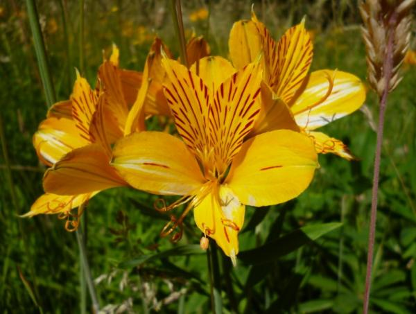 Tipos de lirios - Alstroemeria aurantiaca
