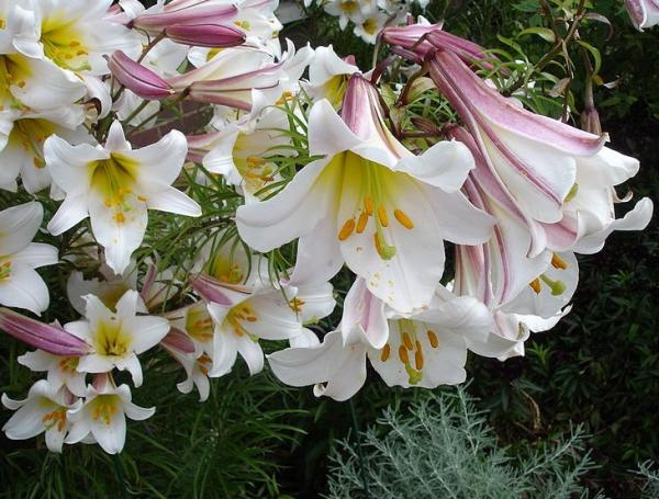 Tipos de lirios - Lilium regale