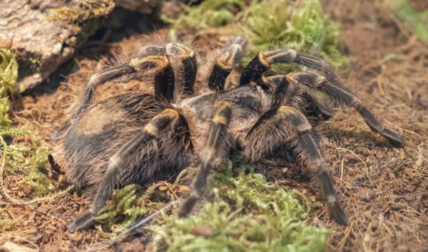 Animales autóctonos de Uruguay - Araña pollito (Grammostola anthracina)