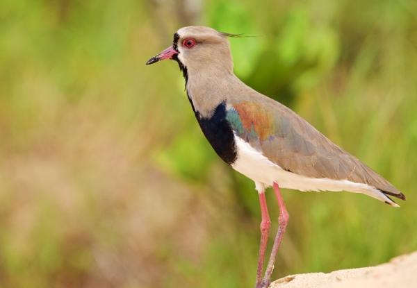 Animales autóctonos de Uruguay - Avefría tero (Vanellus chilensis)