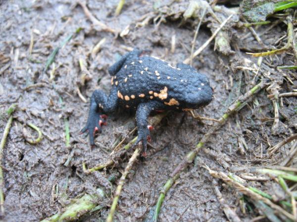 Animales autóctonos de Uruguay - Sapito de San Martín (Melanophryniscus sammartini)