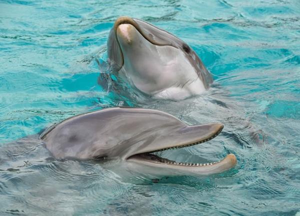 Animales autóctonos de Uruguay - Tursión, tonina o delfín mular (Tursiops truncatus)