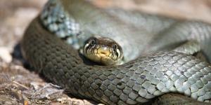 Características de la serpiente mamba negra