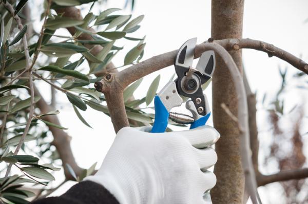 Cuándo podar un olivo y cómo hacerlo - Cómo podar un olivo paso a paso