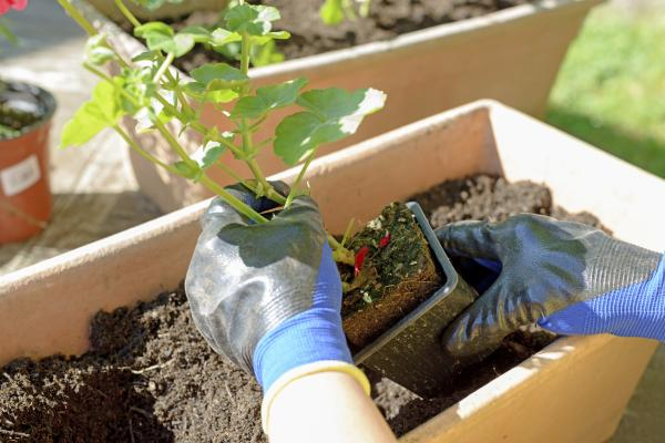 Cómo hacer crecer las plantas más rápido - Trasplantar las plantas para que crezcan mejor