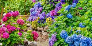 Cómo cambiar el color de las hortensias