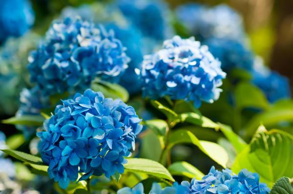 Cómo cambiar el color de las hortensias - Cómo conseguir hortensias azules
