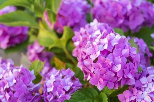 Cómo cambiar el color de las hortensias - Cómo hacer que las hortensias sean rosas