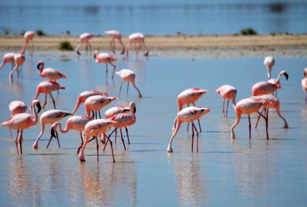 Qué comen los flamencos - Qué comen los flamencos rosados