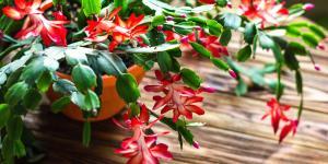 Cactus de Navidad con las hojas arrugadas: por qué y qué hacer