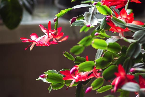 Cactus de Navidad con las hojas arrugadas: por qué y qué hacer - Falta o exceso de riego