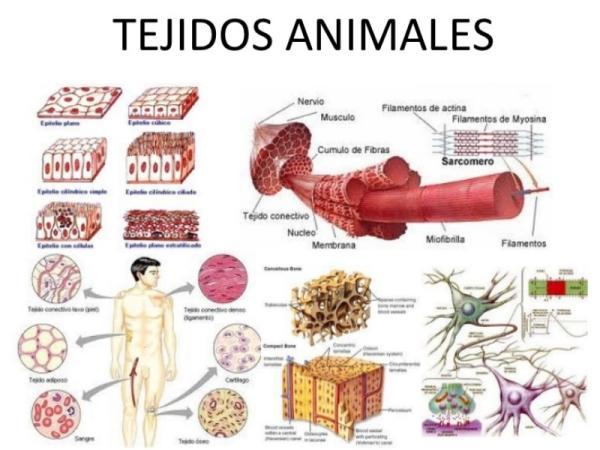 Tipos de tejidos animales