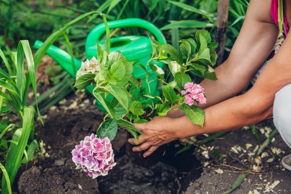 Cómo trasplantar hortensias - Cómo trasplantar hortensias paso a paso