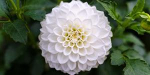 10 flores blancas para jardín