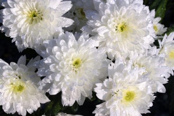10 flores blancas para jardín - Crisantemo blanco