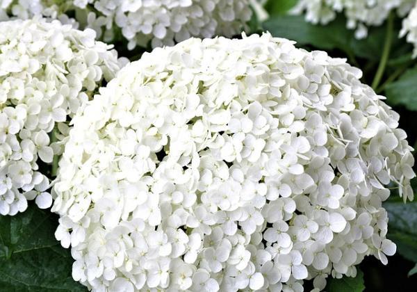 10 flores blancas para jardín - Hortensias blancas para el jardín