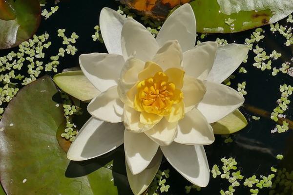 10 flores blancas para jardín - Nenúfares blancos para jardines con agua
