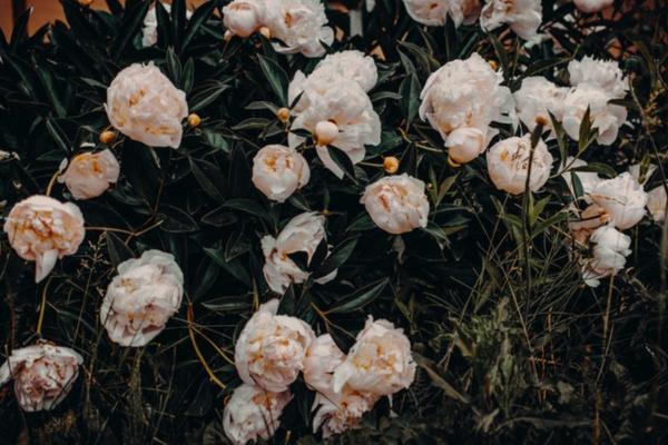 10 flores blancas para jardín - Peonías blancas