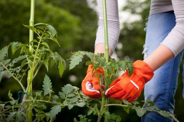 Por qué se doblan los tallos de las plantas - Cómo poner recta a una planta