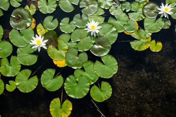 Tipos de raíces - Raíces acuáticas