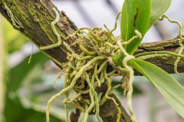 Tipos de raíces - Raíces aéreas