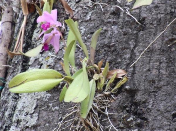 Tipos de raíces - Raíces epífitas